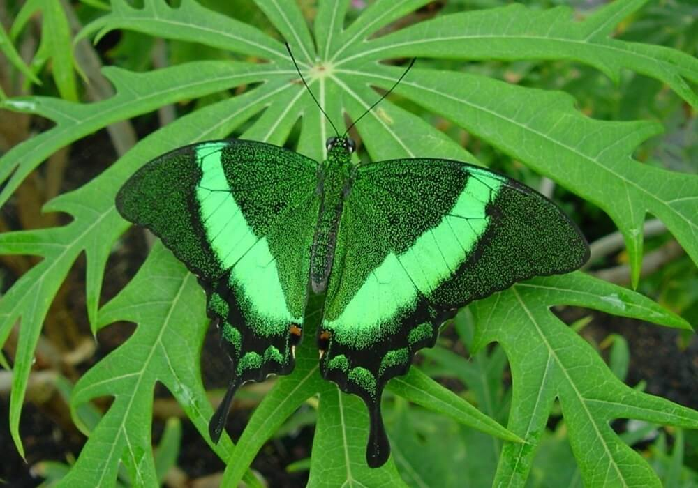 green-color-butterfly