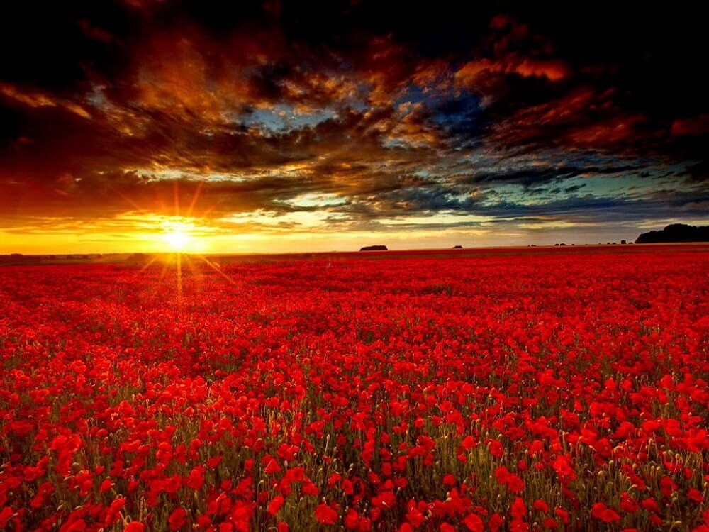 red-flower-field-feature-image